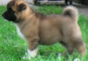 love akita home puppy for sale