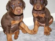 Potty Trained Doberman Pinscher Puppies for sale