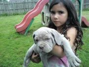 Wonderfull and Mavelouse Neapolitan Mastiff Puppies for sale