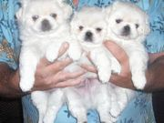 Adorable Pekingese Puppies for sale