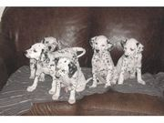 Mavelouse Dalmatian Puppies for sale