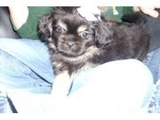 Lovely Tibetan Spaniel Puppies for sale