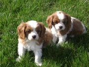 milkish and caring Cavalier King Charles Spaniel for Sale