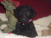 milkish and caring Curly Coated Retriever for Sale