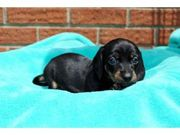 milkish and caring Dachshund for Sale.