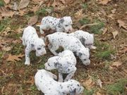 health Akc  looking Dalmatian puppies for Sale