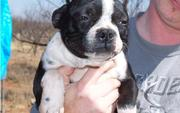 Boston Terrier Puppies For Sale  now