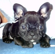 Adorable French Bulldog Babies