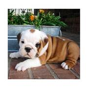 Gorgeous English Bulldog puppies for sale