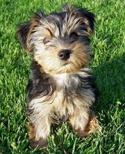 shayla the yorkie puppy