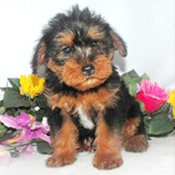 lovely looking yorkie puppy for  adoption